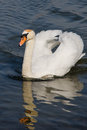 Mute swan with reflections at weymouth dorset Royalty Free Stock Photo