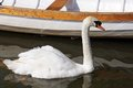 Mute swan on River Avon. Royalty Free Stock Photo