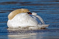 Mute swan sleeping on frozen pond Royalty Free Stock Photography