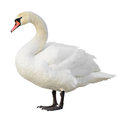 Mute swan standing isolated on white background Royalty Free Stock Images