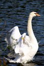 Mute Swan Stretching Its Wings Royalty Free Stock Photo