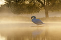 Mute Swan at sunrise Royalty Free Stock Photo