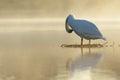 Mute Swan at sunrise Royalty Free Stock Photo