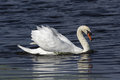 Mute swan swimming on bright blue water along the atlantic coast it is a member of the waterfowl family anatidae it is native to Stock Photos