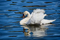 Mute swan swimming with feathers displayed at exeter devon Royalty Free Stock Photos