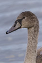 Mute swan is swimming on a lake Royalty Free Stock Images