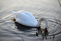 Mute swan trying to find food Royalty Free Stock Photography