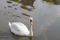 Mute swan on water facing camera Royalty Free Stock Image