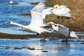 Mute swans chasing each other in the lake Stock Photo