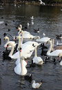Mute swans coots gulls in hyde park london cygnus olor fulica atra and on the lake england Stock Photo