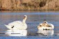 Mute swans family cygnus olor on icy lake surface Stock Photography