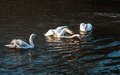 Mute swans fighting. Royalty Free Stock Photo