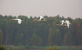 Mute swans in flight with the dark lithuanian forests autumn colours as a background a small flock of cygnus olor flies from one Stock Image