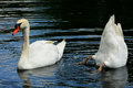 Mute swans humorous photo of a pair of on a pond with one of them tipped upside down looking for food at the bottom of the pond Stock Photo