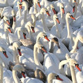 Mute swans rushing to the winter feeding place in stockholm sweden Stock Images