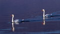 Mute swans on water two beautiful swimming the blue Royalty Free Stock Photography