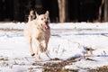 Mutt of border terrier Stock Images