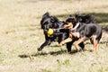 Mutt of german pischer with english cocker spaniel running spitz Royalty Free Stock Image