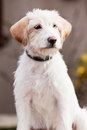 Mutt of spinone italiano sitting on the ground Stock Images