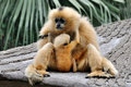 Mutter und Kind, Hoolock Gibbon Stockbild