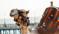The muzzle of the African camel Stock Image