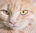 Muzzle cat a close up Royalty Free Stock Photo