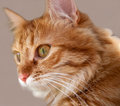 Muzzle cat fluffy with a red coat color closeup Stock Photos