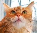 Muzzle cat fluffy with a red coat color closeup Royalty Free Stock Photo