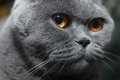 Muzzle of gray cat british close up Stock Photos