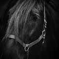 Muzzle of a horse stallion portrait thoroughbred beautiful Stock Photography