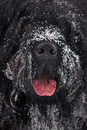 Muzzle large shaggy black terrier Royalty Free Stock Photos