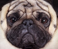 Muzzle pug closeup the dog Royalty Free Stock Images