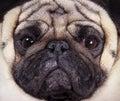 Muzzle pug closeup the dog Royalty Free Stock Images