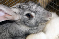 Muzzle of rabbit the a young cute gray Stock Photos