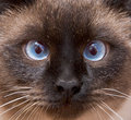 Muzzle of the Siamese cat Royalty Free Stock Image