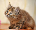 Muzzle small fluffy kitten tricolor Stock Photo
