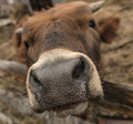 Muzzle of a young cow close up Royalty Free Stock Photo