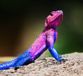 The Mwanza Flat-headed Agama. Serengeti, Tanzania Royalty Free Stock Image
