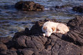 My dog is on the rocks and the beach beautiful Royalty Free Stock Photo