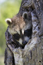 My eyes adore you young kit raccoon peeking out of tree hollow Royalty Free Stock Photography