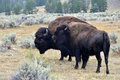 My girl two bison in yellowstone national park Stock Photography