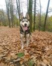 My husky dog Gizmo Royalty Free Stock Photo