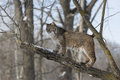 This is my valley bobcat standing sideways on oak branch in the wintertime Stock Image