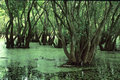 Myakka Swamp Royalty Free Stock Image