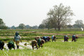 Myanmar farmer working in ricefield mandalay june group of woman farmers are planing rice a field on june mandalay city middle of Royalty Free Stock Image