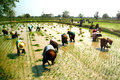 Myanmar farmer working in ricefield mandalay june group of woman farmers are planing rice a field on june mandalay city middle of Stock Photo