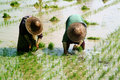Myanmar farmer working in ricefield mandalay june group of woman farmers are planing rice a field on june mandalay city middle of Royalty Free Stock Photos