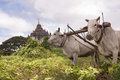 Myanmar travel images oxen ploughing field gawdawpalin temple in background old bagan Stock Photography