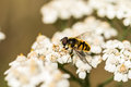 Myathropa florea hoverfly on Achillea millefolium Royalty Free Stock Photo