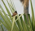 Myna and green leaves agra india Stock Image